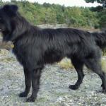 pyreneisk-gjeterhund-zisou