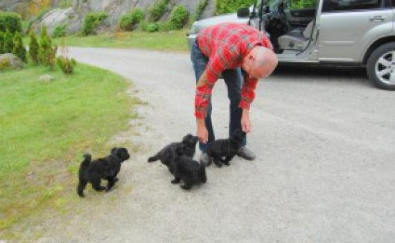 Det første Norskregistrerte kull av rasen født 2/5-2012 er i dag 1 år .